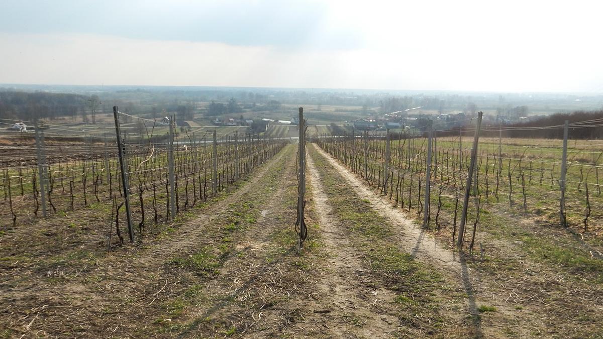 Polska winnica